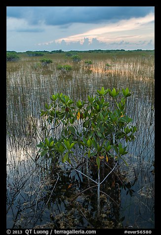 Freshwater marsh with Red Mangrove. Everglades National Park (color)