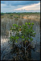 Freshwater marsh with Red Mangrove. Everglades National Park, Florida, USA. (color)