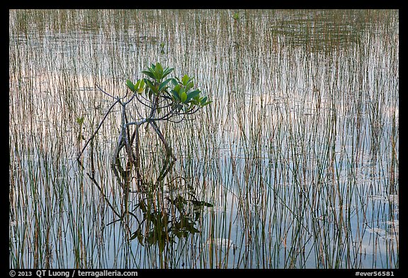Needle rush and dwarfed mangrove. Everglades National Park (color)