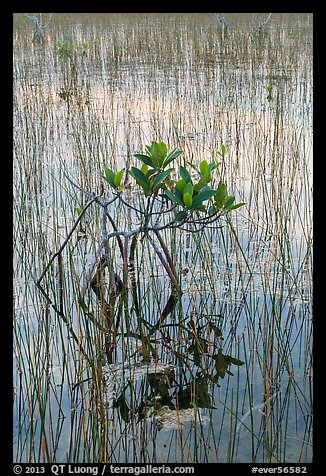 Dwarf red mangrove with needle rush. Everglades National Park (color)
