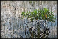 Dwarfed red mangrove in summer. Everglades National Park, Florida, USA. (color)