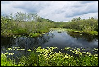 Freshwater slough in summer. Everglades National Park, Florida, USA. (color)