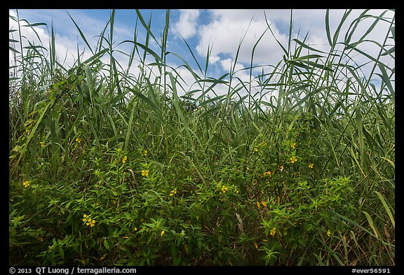 Flowers and tall grasses in summer. Everglades National Park (color)