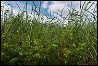 Flowers and tall grasses in summer. Everglades National Park, Florida, USA. (color)