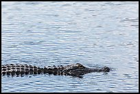 Alligator swimming. Everglades National Park, Florida, USA. (color)