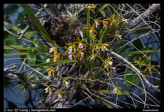 Tampa Butterfly Orchid (Encyclia tampensis). Everglades National Park (color)