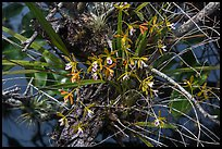 Tampa Butterfly Orchid (Encyclia tampensis). Everglades National Park, Florida, USA. (color)