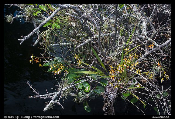 Butterfly Orchid growing on swamp. Everglades National Park (color)