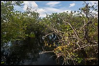 Native Florida orchid and Pond Apple growing in water. Everglades National Park, Florida, USA. (color)