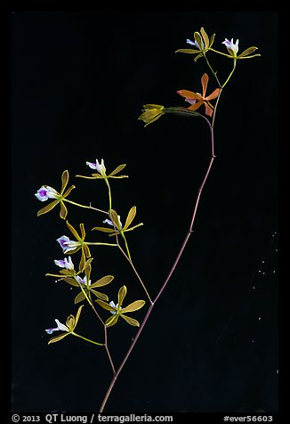 Close-up of Encyclia tampensis branch with orchid flowers. Everglades National Park (color)