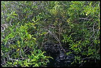 Pond Apple with fruits growing in marsh. Everglades National Park, Florida, USA. (color)