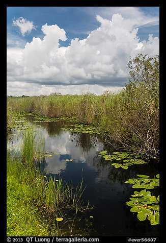 Freshwater marsh in summer. Everglades National Park (color)