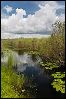 Freshwater marsh in summer. Everglades National Park, Florida, USA. (color)
