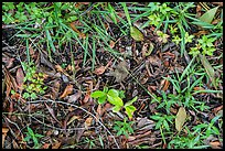 Ground close-up, hammock. Everglades National Park ( color)