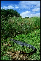 Young alligator at Eco Pond. Everglades National Park, Florida, USA. (color)