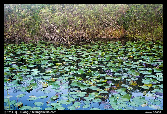 Lily pads, Shark Valley. Everglades National Park (color)