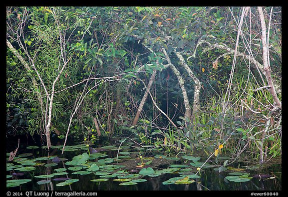 Lily pads and thicket, Shark Valley. Everglades National Park (color)