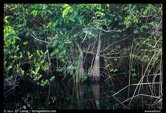 Trees growing in water, Shark Valley. Everglades National Park (color)