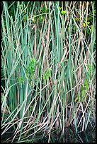 Aquatic grasses, Shark Valley. Everglades National Park ( color)
