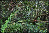 Tropical hardwood forest, Bobcat Boardwalk Trail, Shark Valley. Everglades National Park ( color)