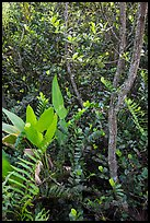 Tropical hardwood forest in hammock, Shark Valley. Everglades National Park ( color)