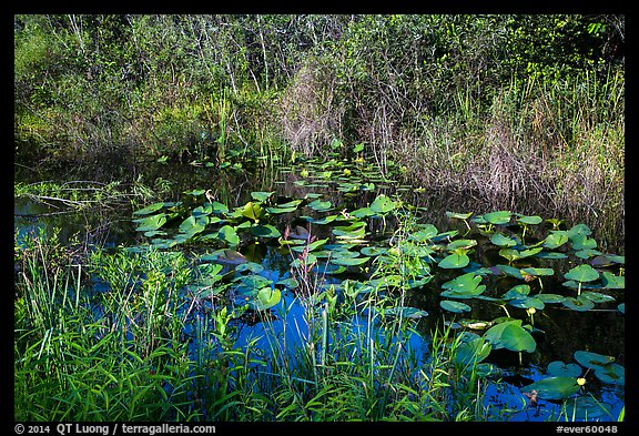 Grasses and water lillies, Shark Valley. Everglades National Park (color)