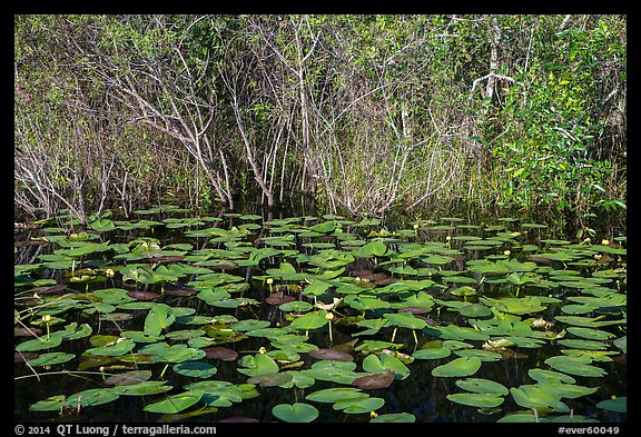 Water lillies and thicket, Shark Valley. Everglades National Park (color)