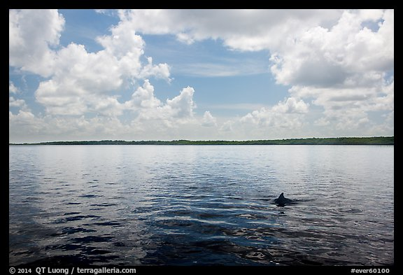 Dolphin fin in Coot Bay. Everglades National Park (color)