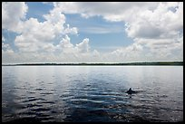 Dolphin fin in Coot Bay. Everglades National Park ( color)