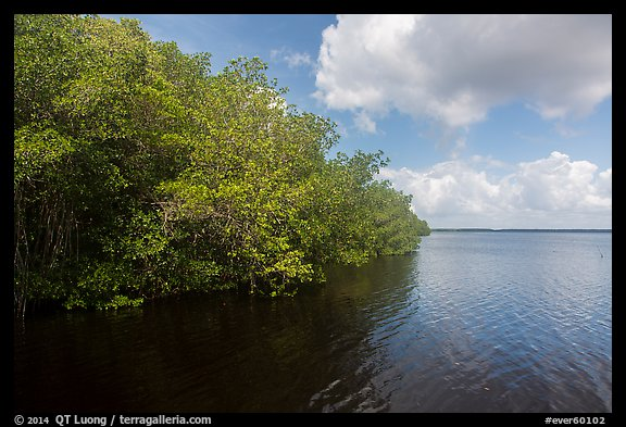 Mangroves bordering Coot Bay. Everglades National Park (color)