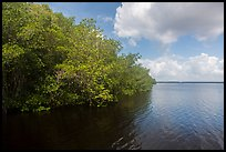 Mangroves bordering Coot Bay. Everglades National Park ( color)