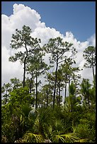 Pines and summer clouds. Everglades National Park ( color)