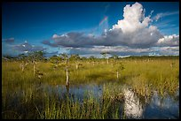 Dwarf Cypress and summer clouds. Everglades National Park ( color)