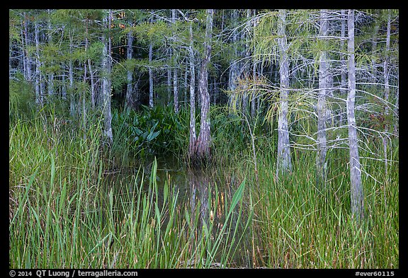 Cypress in summer. Everglades National Park (color)