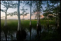 Cypress at edge of dome, summer sunrise. Everglades National Park ( color)