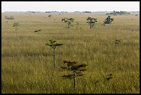 Freshwater prairie punctuated by cypress at sunrise. Everglades National Park ( color)