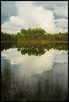 Island with pines and cloud, Long Pine Key. Everglades National Park ( color)