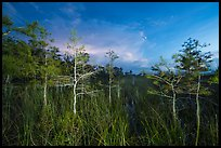 Dwarf cypress at dusk, Pa-hay-okee. Everglades National Park ( color)