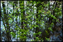 Bacopa and cypress dome reflection. Everglades National Park ( color)