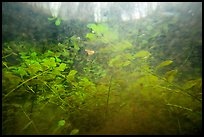 Underwater view of bacopa beneath cypress dome. Everglades National Park ( color)