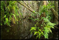 Ferns in cypress dome. Everglades National Park ( color)