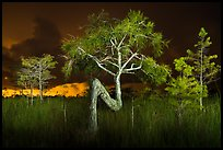 Z tree and cypress at night. Everglades National Park, Florida, USA.