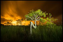 Z tree, sawgrass, and cypress at night. Everglades National Park, Florida, USA.