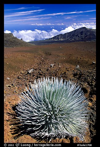 Silversword, an endemic plant, in Haleakala crater near Red Hill. Haleakala National Park (color)