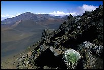 Silversword in Haleakala crater, Sliding sands trail. Haleakala National Park, Hawaii, USA.
