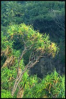 Pandanus trees  (Hawaiian Hala). Haleakala National Park ( color)