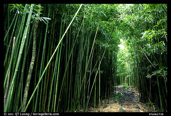 Bamboo forest along Pipiwai trail. Haleakala National Park (color)