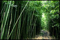Bamboo forest along Pipiwai trail. Haleakala National Park, Hawaii, USA.