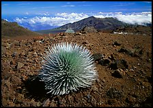 Silversword plant and Clouds, Haleakala crater. Haleakala National Park, Hawaii, USA.