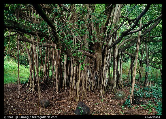 Banyan tree. Haleakala National Park, Hawaii, USA.